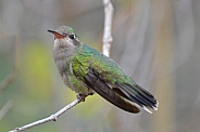 Hummingbird - Broad-billed