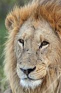 Lion - Botswana - Africa