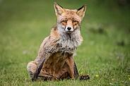 Fox looks up