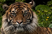 Sumatran Tiger Face Shot Straight On