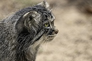 Manul/Pallas Cat Side Profile Close Up