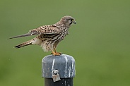 The common Kestrel