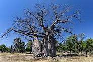 Baobab tree - Okavango Delta - Botswana