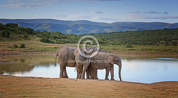 African Elephant group