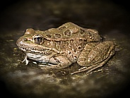 Lowland Canyon Leopard Frog