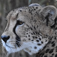 Cheetahs close up