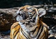 Malayan tiger cubs