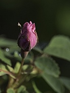Prickly Wild Rose Bud in Alaska