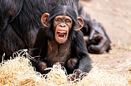 Baby Chimpanzee Sitting Upright Mouth Open At Camera