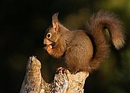 Red Squirrel with Hazelnut