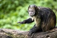 golden-bellied capuchin (Sapajus xanthosternos)