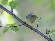 Orange-crowned Warbler in Alaska