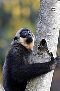 Yellow-cheeked gibbon (Nomascus gabriellae)