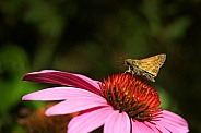 Taxiles Skipper Butterfly