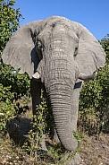 African Bull Elephant - Botswana
