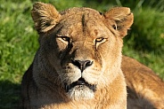 Female African Lion Looking At Camera
