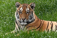 Amur Tiger Cub Lying Down In The Grass