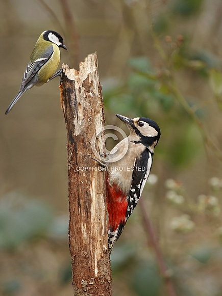 Great Spotted Woodpecker with a european great tit