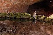Juniper titmouse, baeolophus ridgwayi