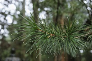 Pine needles with rain drops