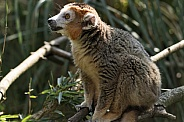 Crowned Lemur Full Body Shot
