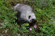 Juvenile Porcupine Walking around Wild Roses