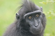 Sulawesi Crested Macaque (Macaca nigra)