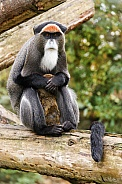 De Brazza monkey with baby