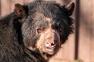 Andean Bear Close Up Face Shot
