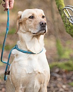 Working Yellow Labrador Retriever