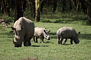 White Rhino and Calves