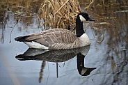 Canada Goose and reflection