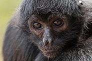 Spider Monkey Close Up Face Shot