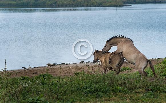Mating horses