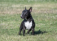Brindle miniature bull terrier posing on the grass