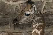 Rothchild's Giraffe Calf Head Shot Close Up