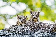 Pair of Snow Leopard Cubs