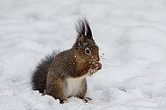 Squirel in the Snow