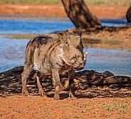 Juvenile Warthog