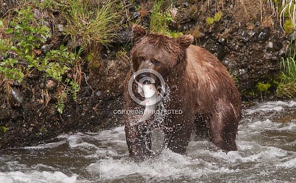 Wild Alaskan brown bear with salmon