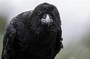 Raven Close Up