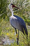 Wattled Crane (Grus carunculata)