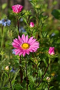 Aster daisy.