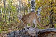 Mountain Lion (Female)