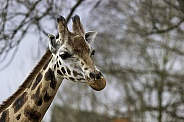 Rothschild Giraffe, close up