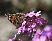Painted Lady Buttefly