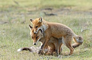 Juvenile Red Foxes