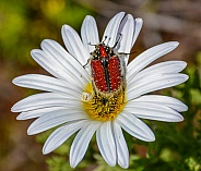 Brunia Beetle