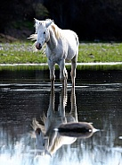 A white Salt River wild horse standing in the water