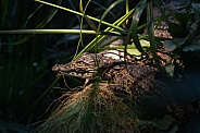 young nile crocodile